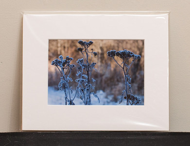 SALE DETAILS:   8x10 Matted print (in protective package)                             $10 (does not include sales tax or shipping).  Original price: $40/each  IMAGE DETAILS: 121006-045 Frosty Aster
