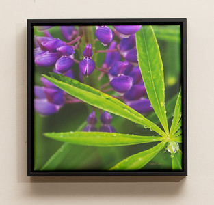 "SALE DETAILS:   11x11 Wrapped Print in Black Metal Frame (1"" deep)                             $55 (does not include sales tax or shipping).  Original price: $125  IMAGE DETAILS: 061305-41V Lupine"