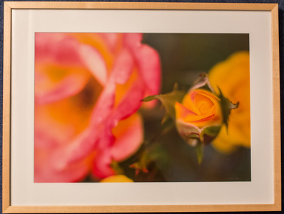 Roses: 19x25 Framed size with glass $50 (does not include sales tax or shipping).