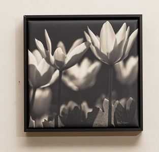"""SALE DETAILS:   11x11 Wrapped Print in Black Metal Frame (1"""" deep)                             $55 (does not include sales tax or shipping).  Original price: $125  IMAGE DETAILS: 20100413-065-5 Bloodroot"""