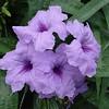 Ruellia x brittoniana (dwarf) - flower