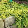 Juniperus horizontalis 'Golden Carpet'