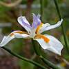 Dietes grandiflora 'Variegata' - flower