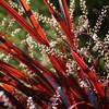 Cordyline 'Festival Grass' - flower