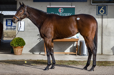 Hip #671 Gold Standard, at Fasig Tipton, 2.06.21