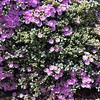 Oscularia deltoides (Lampranthus) - flower
