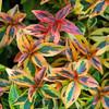 Abelia x grandiflora 'Kaleidoscope' - foliage
