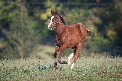 Regal Ransom - Gullible '13 colt