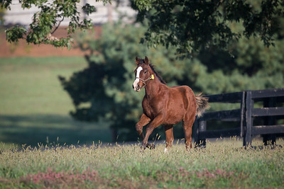 Regal Ransom - Gullible '13 colt