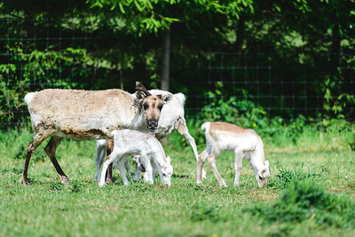 iNNOVATIONphotography-Gower-Fresh-baby-reindeer-22_D854495