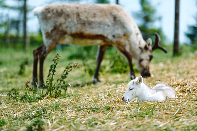 iNNOVATIONphotography-Gower-Fresh-baby-reindeer-18_D854512
