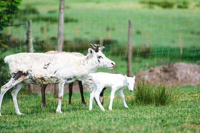 iNNOVATIONphotography-Gower-Fresh-baby-reindeer-23_D854503