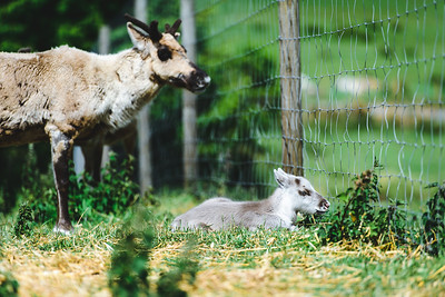 iNNOVATIONphotography-Gower-Fresh-baby-reindeer-12_D854582
