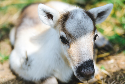 iNNOVATIONphotography-Gower-Fresh-baby-reindeer-3_D854578