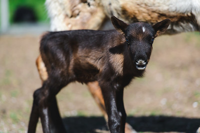iNNOVATIONphotography-Gower-Fresh-baby-reindeer-6_D854903