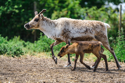 iNNOVATIONphotography-Gower-Fresh-baby-reindeer-15_D854623