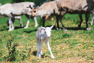 iNNOVATIONphotography-Gower-Fresh-baby-reindeer-1_D854671