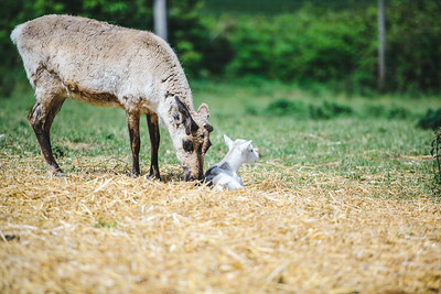 iNNOVATIONphotography-Gower-Fresh-baby-reindeer-13_D854589