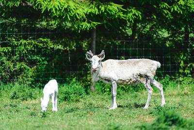 iNNOVATIONphotography-Gower-Fresh-baby-reindeer-21_D854491