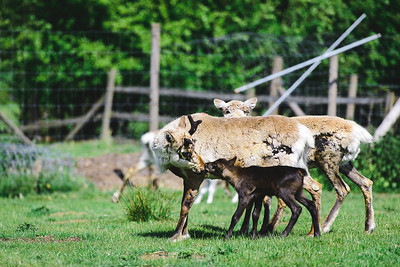 iNNOVATIONphotography-Gower-Fresh-baby-reindeer-9_D854725