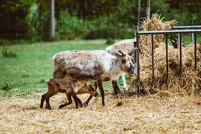 iNNOVATIONphotography-Gower-Fresh-baby-reindeer-17_D854521