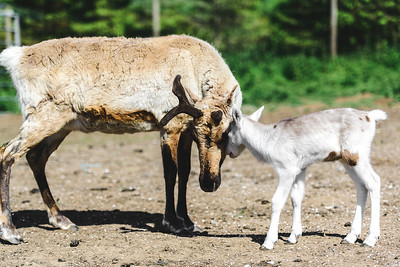 iNNOVATIONphotography-Gower-Fresh-baby-reindeer-10_D854832