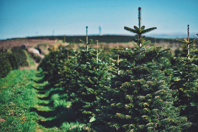 iNNOVATIONphotography-Christmas-Trees-Farm--3