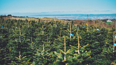 iNNOVATIONphotography-Christmas-Trees-Farm--2