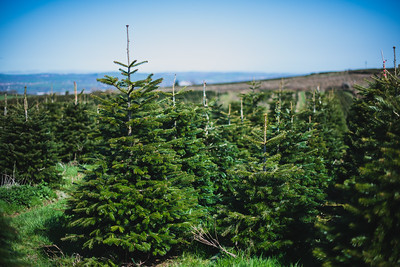 iNNOVATIONphotography-Christmas-Trees-Farm-2