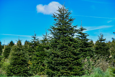 iNNOVATIONphotography-Christmas-Trees-Farm-851274