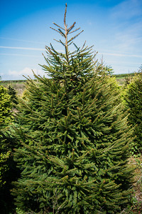 iNNOVATIONphotography-Christmas-Trees-Farm-851320