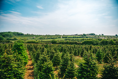 iNNOVATIONphotography-Christmas-Trees-Farm-854544