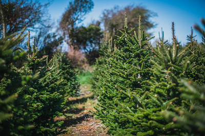 iNNOVATIONphotography-Christmas-Trees-Farm-859479
