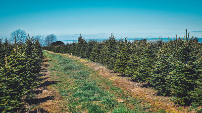 iNNOVATIONphotography-Christmas-Trees-Farm-