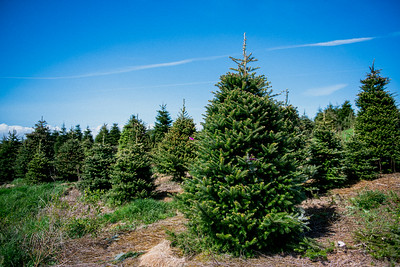 iNNOVATIONphotography-Christmas-Trees-Farm-851285