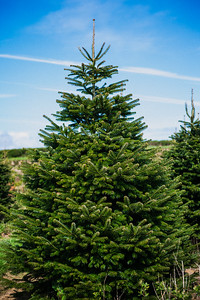 iNNOVATIONphotography-Christmas-Trees-Farm-851317