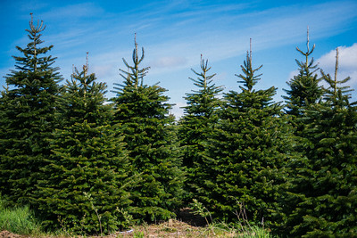 iNNOVATIONphotography-Christmas-Trees-Farm-851327
