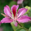 Bauhinia blakeana - flower