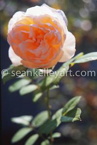 Avon Rose  2013-X3