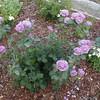 Rose<br /> Floribunda 'Angel Face'