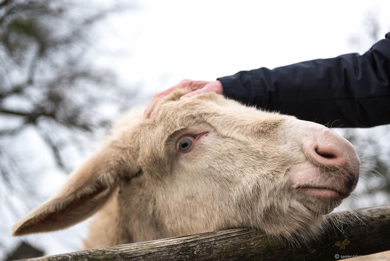 Weisse Esel mit blauen Augen bei Schloß Niederweiden