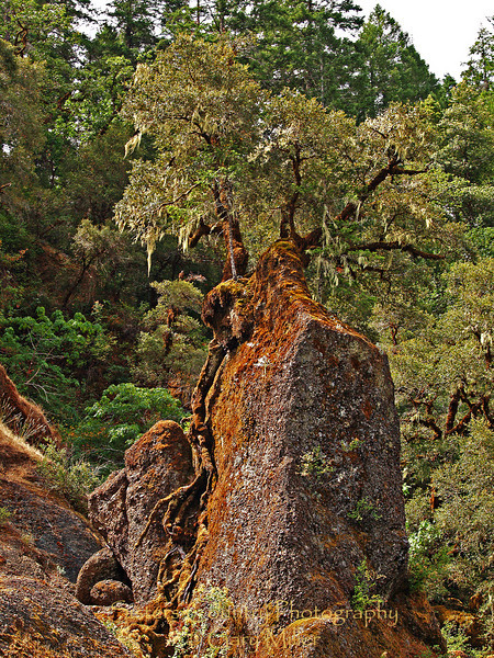 The Jeremiah Tree, Old as the Hills - Rogue River, Oregon