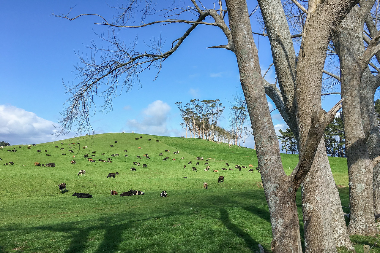 Day 5 drive: Waihi hill of cows 6199