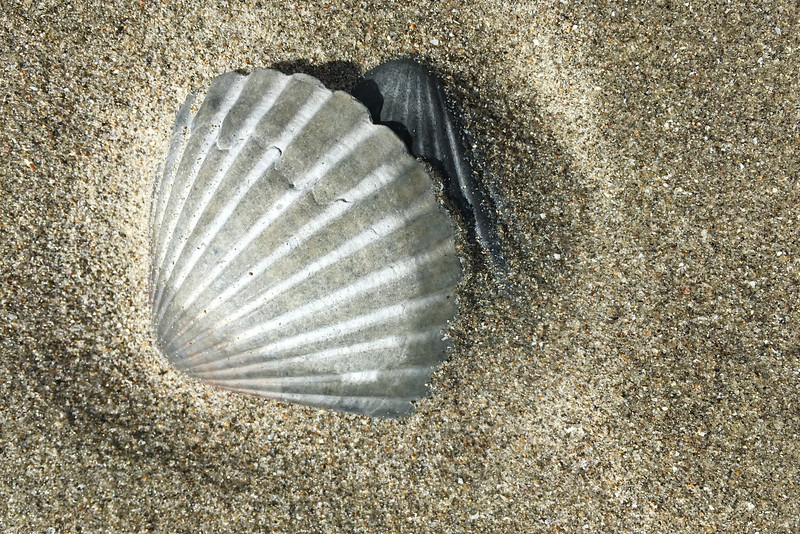Waihi Beach shell 6255