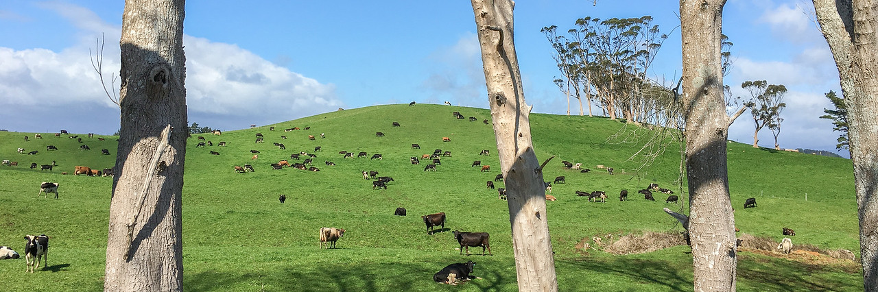 Cow trees pano 6202p
