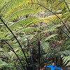 iPhone fern tree pano 6182p