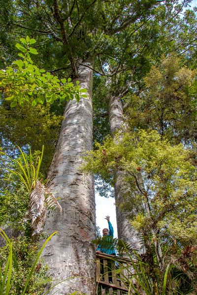 Day 4: Kauri tree & B 5818