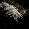 Sepia fern 5609bw