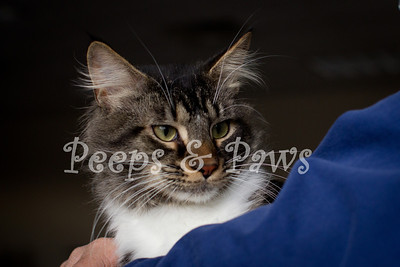Travis - a 2 yr old part Maine coon cat at the Lexington Humane Society.