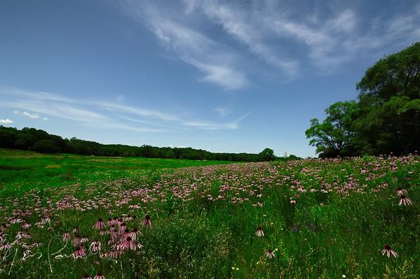 Field of Corn Flowers